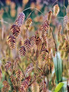 Northern Sea Oats tolerates partial sun; fast spreader; will stay attractive during winter months, good texture for the shade garden