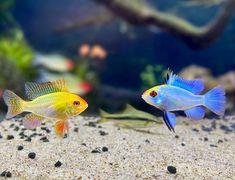 "AquaMom's Instagram profile post: ""History repeats it self 💙 💛. What are u team blue or team yellow?. . . . . . #aquarium #aquariumfish #aquariumhobby #plantedtank…"""