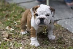 Love the awesomely cute wrinkly legs and big bullie paws on this darling pup. #cute #dogs #puppies #bulldog #English #pets #animals
