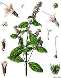 Growing Hermione's Garden: Mentha pulegium - Pennyroyal