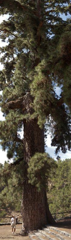 Canary Island pine 'Pino de las Dos Pernadas' along the Ctra General Vilaflor, Vilaflor, Canary Islands, Spain