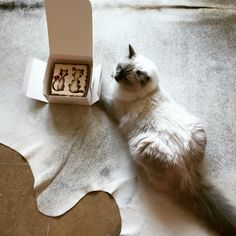 Cake#cats #kitten #lovecats #ragdoll #chinchilla #Persian #kitten #meow #lovecat
