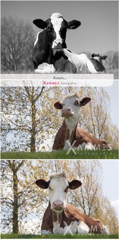 Koeien, vrije fotografie, Xammes fotografie