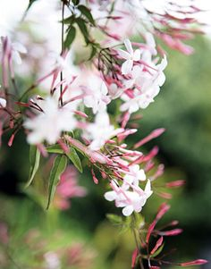 Pink sweet jasmine~ plant by your windows so the smell will come in your windows! THIS one smells yummy Jasmine Vine, Jasmine Plant, Pink Jasmine, Moon Garden, Perfume, White Gardens, Garden Plants, Flower Power, Planting Flowers