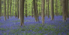 The Hallerbos (Dutch for Halle forest) is a forest in Belgium, covering an area of 552 ha (5.52 km2). It is mostly situated in the municipality of Halle, in Flemish Brabant. The forest is known in the region for its bluebell carpet which covers the forest floor for a few weeks each spring.