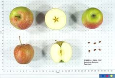 American Summer Pearmain Origin: 1817 Flesh tender, yellow; flavor subacid, aromatic.