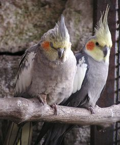 Two cockatiels.