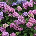 Prune Hydrangea Bushes: Hydrangea Pruning Instructions