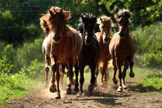 Icelandic horses ~ photo by Katarzyna Okrzesik