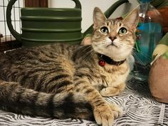 ADOPTED - Wanda - URGENT - City of Corsicana Animal Shelter, Corsicana, Texas - ADOPT OR FOSTER - Young Spayed Female Domestic SH
