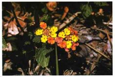 Lantana: Shrublike, grows to 45 centimeters. Round leaves,flowers in flat-topped groups. Flowers can be white,yellow,orange,pink,red. Darkblue or black berries. Very strong scent. *CAUTION* Very poisonous & fatal if eaten! Tropical & temperate area.Weed along roads & old fields. Orange Pink, Yellow, Poisonous Plants, Leaf Flowers, Wilderness Survival, Roads, Weed, Fields, Berries