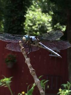 Jaimee's Dragonflies