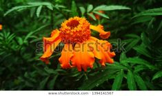 Find Beautiful Marigold Flowers Tagetes Marigold Home stock images in HD and millions of other royalty-free stock photos, illustrations and vectors in the Shutterstock collection. Pink Backdrop, Flower Close Up, Marigold Flower, Leaf Crafts, Image Of The Day, Watercolor Wedding, Beautiful Flowers, Nature Photography, Photo Editing