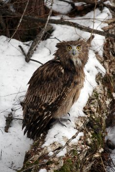Blakiston's fish owls feed mostly on salmon, which are common in the rivers of the southern Russian Far East. These massive, endangered owls live here year-round, enduring sweltering summer heat waves and winter temperatures that dip to -30 degrees Celsius or more. - (Credit: Photograph © Jonathan C. Slaght, WCS Russia.)