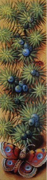 Natura Naturans · Paracelsusmedizin Juniperus