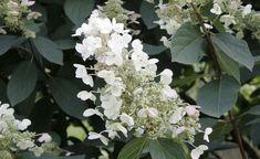 Blüte der Rispen-Hortensie (Hydrangea paniculata)