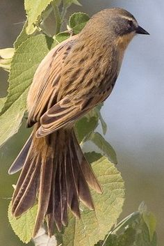 Donacospiza albifrons Cachilo canela/Long-tailed Reed-Finch