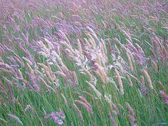 Pink grass in the summer - Da Herra, Yell