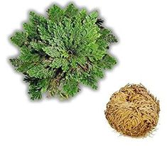 Rose Of Jericho / Resurrection Plants/ Live Dinosaur Plant Feng Shui Good Luck, Dinosaur Plant, Container Gardening, House Plants, Health And Beauty, Lush, Dandelion, Projects To Try, Herbs