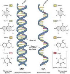 DNA AND RNA is an example of Nucleic Acid