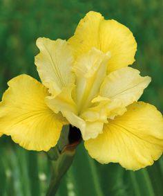 Siberian Iris 'Summer Revels'