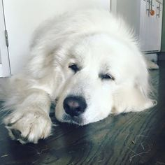 Sometimes our dogs can get a little fat. Pyrenees Puppies, Great Pyrenees Dog, Dogs And Puppies, Doggies, Big Dogs, I Love Dogs, Maremma Sheepdog, Best Dog Breeds, White Dogs