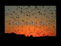 Bats, Bats, Bats  Another amazing bat song with lots of facts!