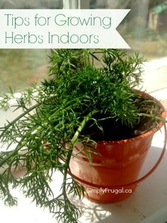 Tips for growing herbs indoors.  Armed with these tips, in no time, you will have fresh and tasty herbs right at your fingertips.