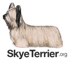 Image result for skye terrier