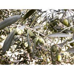Olive Tree, Homeland, Greece, Nature, Plants, Inspiration, Greece Country, Biblical Inspiration, Naturaleza