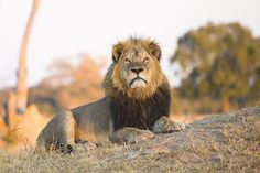 One Year After Cecil's Death, Lions Face Bigger Threats Than Hunting