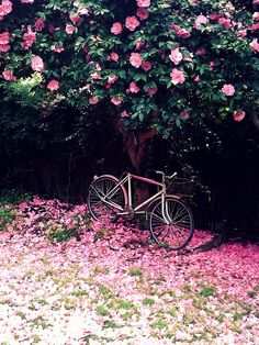 Love this image...nature's design.  A Camellia tree losing its pink blooms and a pink bike to match.  Puts a smile on my face.