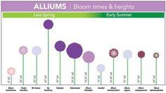 Front Yard Landscaping Discover Bloom Time Chart for Allium Bulbs - Longfield Gardens Allium Sizes Allium Flowers, Garden Bulbs, Garden Plants, Bloom, Different Flowers, Plantation, Front Yard Landscaping, Landscaping Ideas, Dream Garden