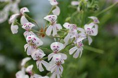 Blandfordianum