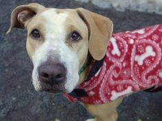 TO BE DESTROYED - 03/11/15 Manhattan Center My name is KUNA. My Animal ID # is A1028483. I am a female tan and white harrier mix. The shelter thinks I am about 3 YEARS old. I came in the shelter as a STRAY on 02/21/2015 from NY 11207, owner surrender reason stated was STRAY. https://www.facebook.com/photo.php?fbid=969492336396979