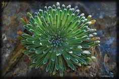 """Foto realizada por Pertegon. """"Saxifraga Longifolia"""" ¡una preciosidad!, la reina de las paredes verticales."""