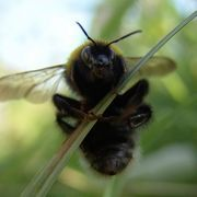 How to Trap Bumble Bees   eHow