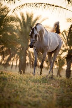 S.M.A Magic One (Psytadel x Majidah Bint Pacha) 2010 grey stallion - breeder unknown