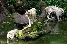 A Cleaner was killed by white tigers in Singapore Zoo. At first, Visitors nearby thought that it was a performance/show. However, the moment the tiger bite the cleaner's neck, visitors were bewildered. one of them took an umbrella and threw it at one of the tigers. Before the ambulance arrived, the cleaner was pronounced dead on the spot.