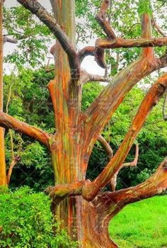 200PCS Rainbow Eucalyptus Seeds Tropical Tree Seeds Home Decoration Beautiful Eucalyptus Tree Plant For Garden Planting