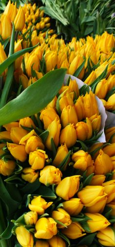its spring time, here comes a bunch of yellow tulip tulips flowers