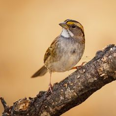 This is a White-throated Sparrow, one of our winter visitors. They have the sweetest song!❤️ Have a great day! Thank you to the following hubs for featuring my photos! I sooooo appreciate it! @nikonphoto_ @excellent_animals  @nature_up_close @love_natura @igbest_shotz @arte_of_nature @igbirds @agusm_spotlight @feather_perfection @ig_shutterbugs @wildlife_perfection @loves_birds @nature_sultans @moststunningshot @fingerprintofgod @worldclassshots @birdextremefeatures @igbirds