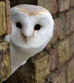 Owl sneaking a peek! Beautiful Owl, Animals Beautiful, Cute Animals, Owl Photos, Owl Pictures, Photo Libre, British Wildlife, Curious Creatures, Fox Art
