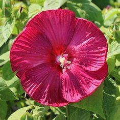 Luna Red - hardy hibiscus variety, winter tolerant, huge blooms