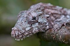 Cuban False Chameleon. Lizards, Reptiles, Chameleons For Sale, Vivarium, Cuban, Terrarium, Camouflage, Goals, Pets