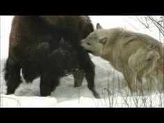 NATURE   Wolves Hunting Buffalo   Cold Warriors: Wolves and Buffalo   PBS