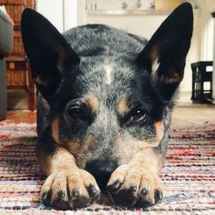 ACD - the most loyal, loving and highly intelligent dog!