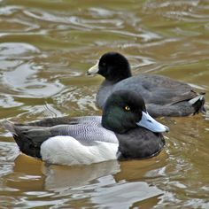 American Coot and Greater Scaup - Adventures through Photography