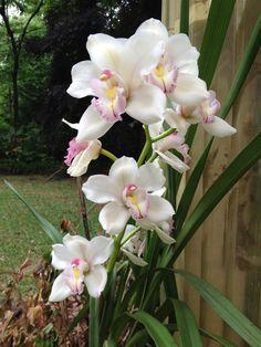 Cymbidium Orchid 2015
