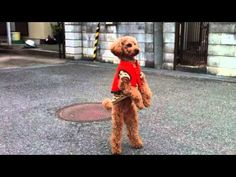 トイプードル・母と散歩 Walking & Jumping Toy Poodle with his Mother